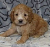 Cockapoo Puppies For Sale In Pa Ridgewood Puppies