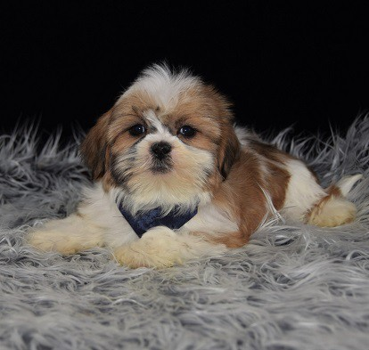 shih tzu puppies in pa shih tzu puppies for sale in pa shih tzu puppy adoptions 6439