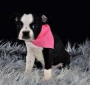 boston puppies for Sale in NY