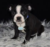 Boston Terrier puppies for sale in PA | Ridgewood Puppies ...