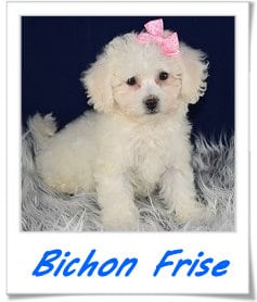 Bichon puppies for sale in PA
