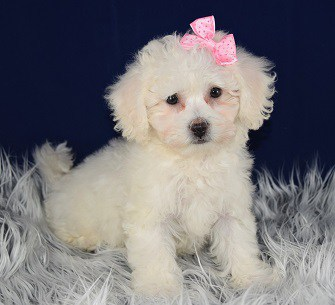 Bichon puppies for sale in VA