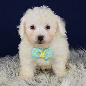 Bichon puppies for sale in MA