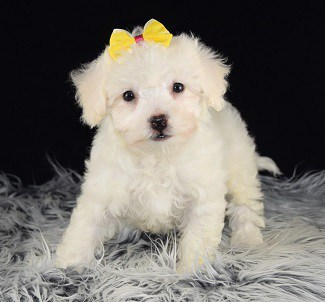 Bichon puppies for sale in ME
