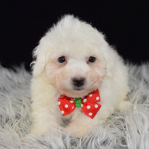 Bichon puppies for sale in CT