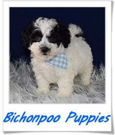 Bichon poo puppies for sale