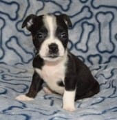 Boston Mix Puppies For Sale In Pa Ridgewood Puppies