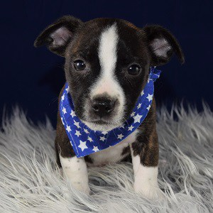 bojack puppies for sale in MD