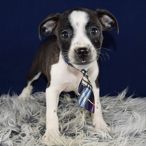 bojack puppies for sale in Washington DC