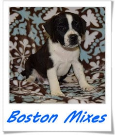 Boston Mixed puppies