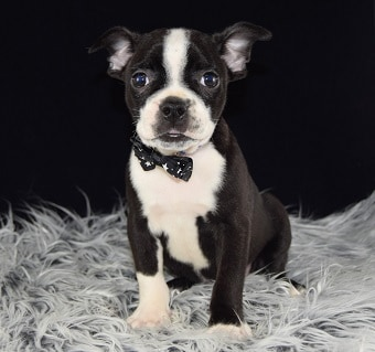 Boston Terrier puppies for Sale in NY