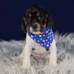 Cavajug puppies for Sale in MD