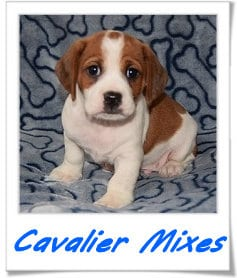 Cavalier mixed puppies