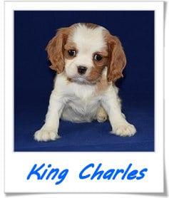 King Charles Cavalier