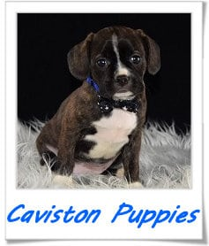 Caviston puppies