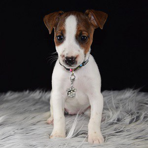jack russell puppies for sale in ME