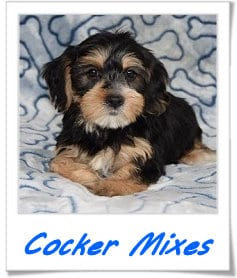 cocekr mixed puppies