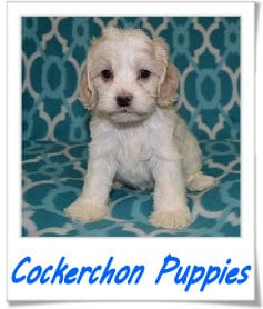 Cockerchon puppies