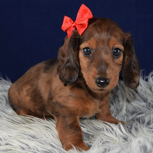 dachshund puppies for sale in MD