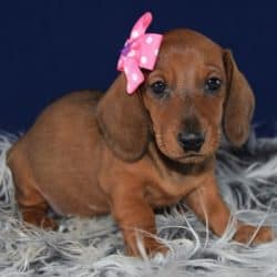 Dachund puppies for sale in NC