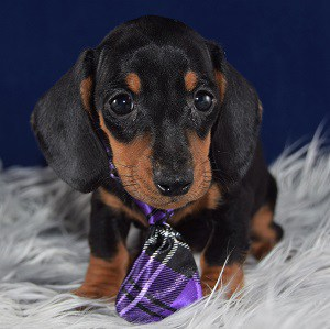 dachshund puppies for sale in CT