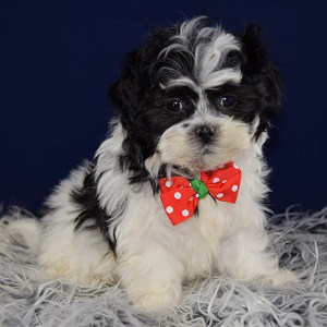 Havachon puppies for sale in NJ