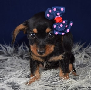dachshund mixed puppies for sale in VA