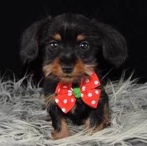 dachshund mixed puppies for sale in DE
