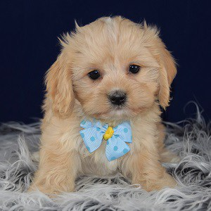 Lhasa mix puppies for sale in CT