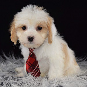 Lhasa mixed Puppies for sale in PA