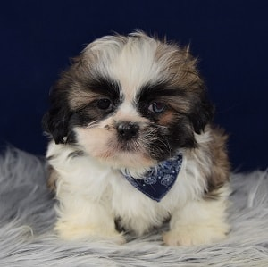 Shih Tzu puppies for sale in CT