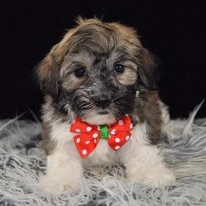 Havachon puppies for sale in RI