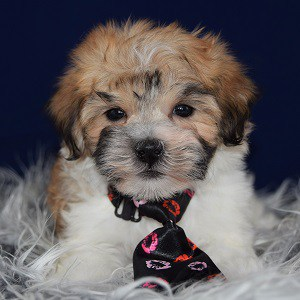 Havachon puppies for sale in CT