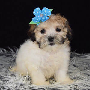 Havachon puppies for sale in DE