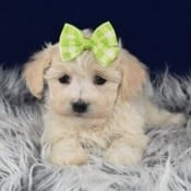 Havachon puppies for Sale in MD