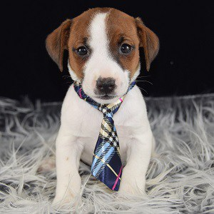 jack russell puppies for sale in NY