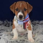 Jack Russell puppies for sale in DE