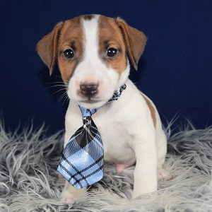 jack russell puppies for sale in MD