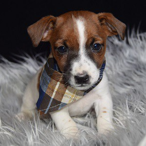 jack russell puppies for sale in VT