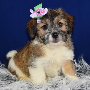 Shih Tzu puppy adoptions in NY