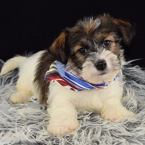 Jack Tzu puppies for Sale in DE