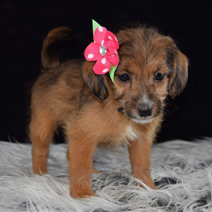 jackapoo puppies for sale in PA