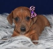 Jackshund mixed puppies for sale