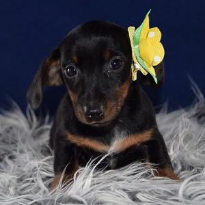 Jackhunds puppies for sale in MD