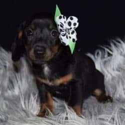 Jackshund puppies for Sale