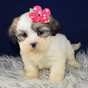 Lhaza Tzu puppies for sale