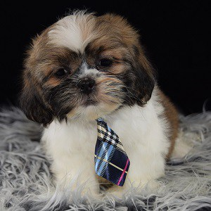 Lhasa Tzu Puppies for sale in PA