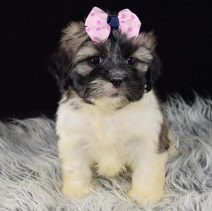 Lhasa Tzu Puppies for sale in CT