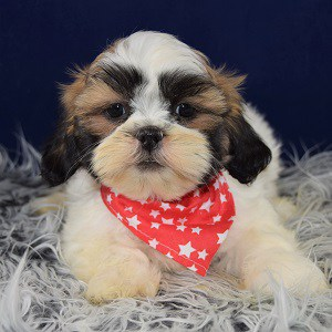 Lhasa Tzu Puppies for sale in NY