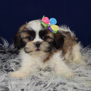 Lhasa Tzu Puppies for sale in VA